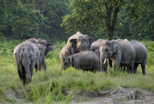 Indian Elephants in NE India