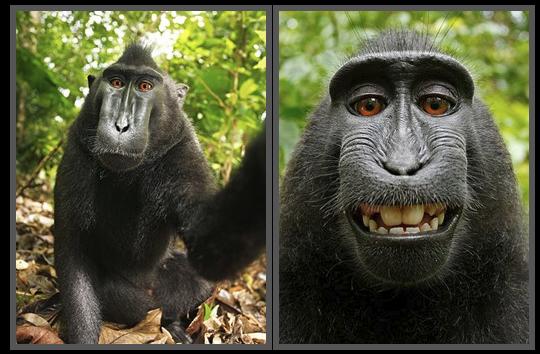 Monkey 'Selfies' Spark Copyright Dispute