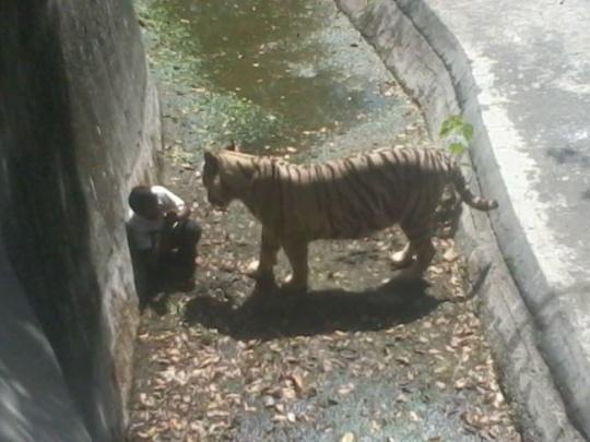 White tiger kills man in Delhi Zoo