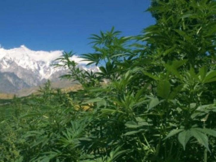 Uttarakhand To Become First Indian State To Legalise Cannabis Cultivation