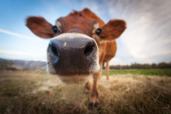 After Cow Urine Fighting Cancer, Now RSS Says Cow Poop Can