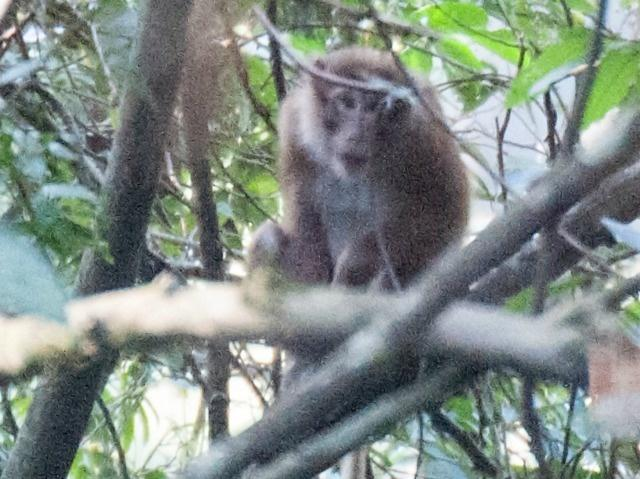 White Cheeked Macaque