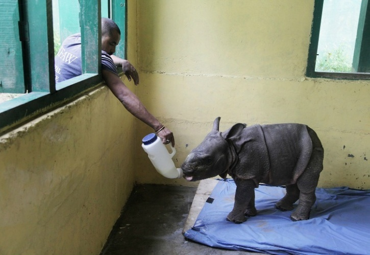 Baby rhino finally taking food