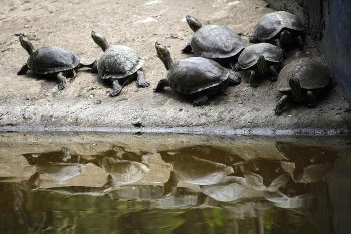 The Government Now Plans To Use Turtles To Clean The Ganges