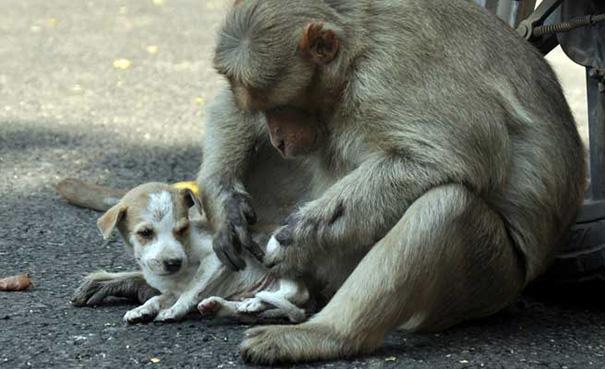 Monkey adopts dog