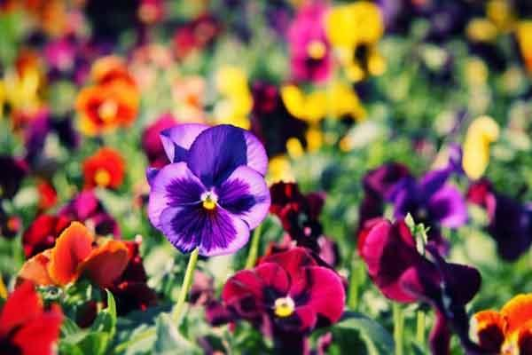 25 edible flowers that will add colour flavour and nutrition to edible flowers health benefits mightylinksfo