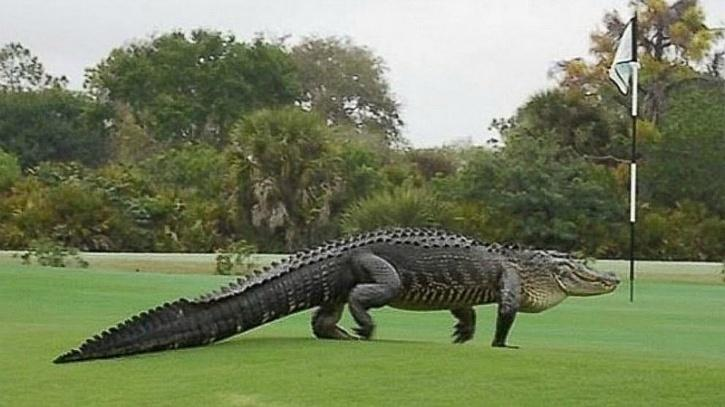 Alligator golf