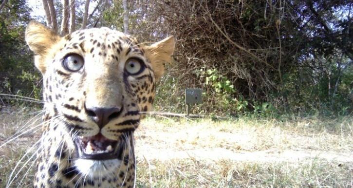 Leopard caught on trap camera