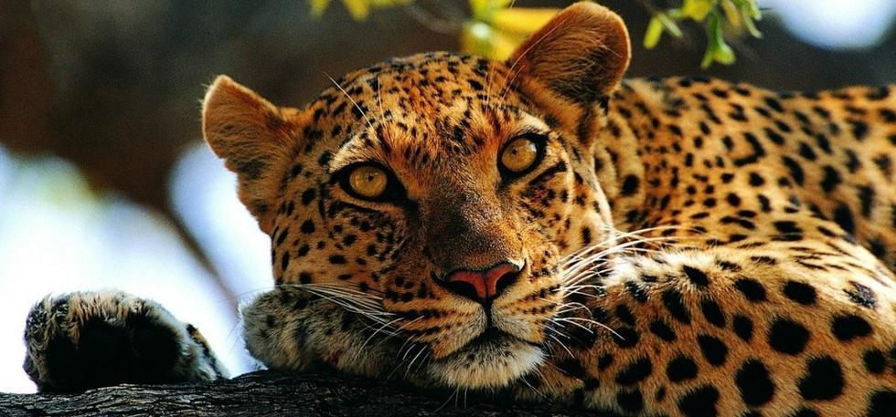 Leopards of Gurugram