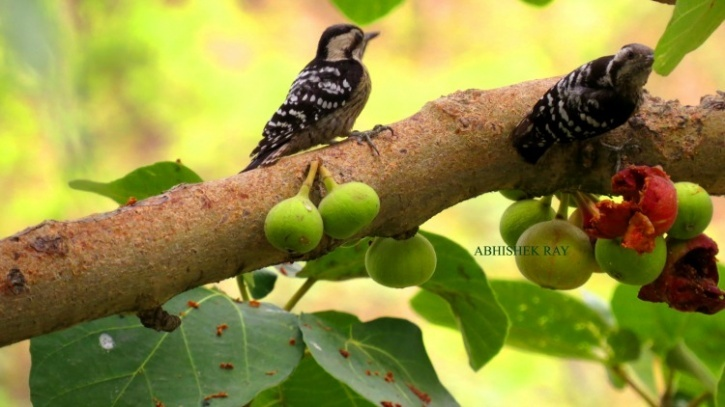 Pygmy woodpeckers