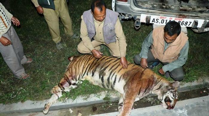 Royal Bengal tiger killed in Assam