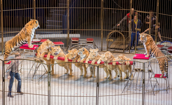 tigers, lions at Russian circus