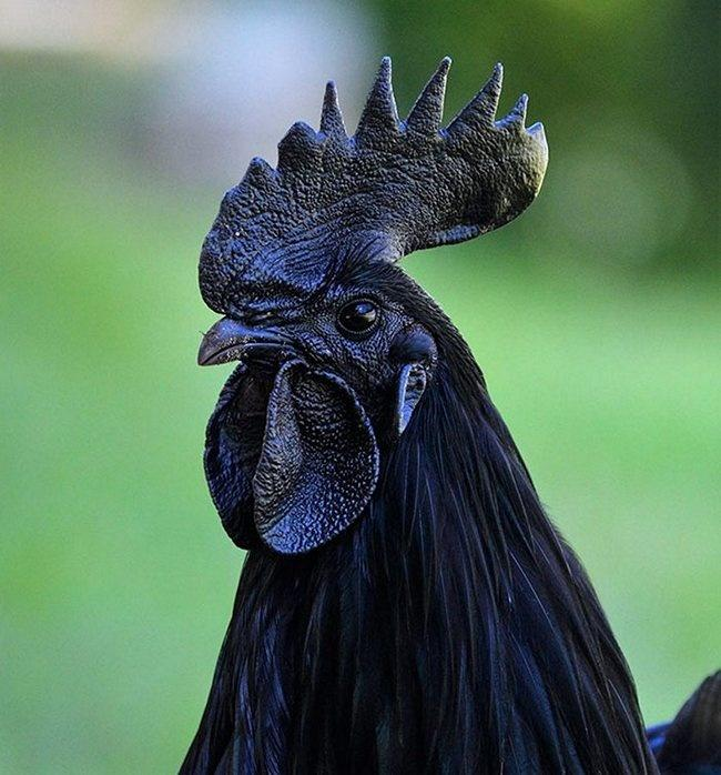 Ayam Cemani