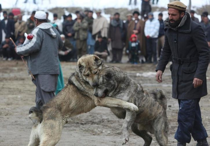 Painful Images From Brutal Kabul Dog Fight Show Mutts Mauling Each