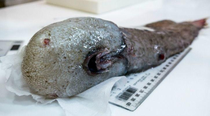 Ocean Faceless Fish