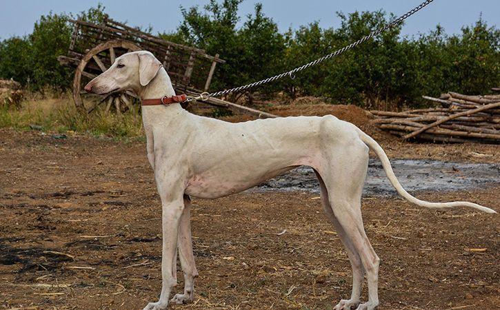 No More German Shepherds Or Swiss Dogs Indias Own Mudhol Hound