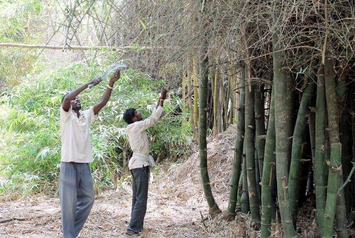Bamboo, Classified As A 'Tree' For Almost 90 Years, Gets