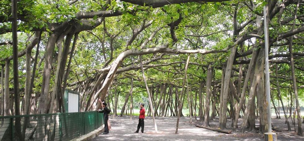 255-Year-Old Great Banyan Hasn