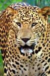 Buddhist Monk Meditating Deep Inside Tiger Reserve In Maharashtra Killed By Leopard