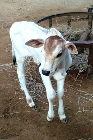 Cow In Madhya Pradesh Gives Birth To Twin Calves Owner Names Them BJP And Congress