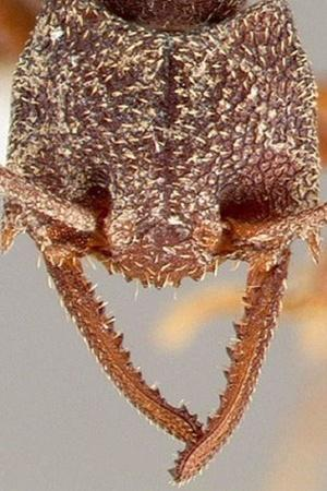 Dracula Ant
