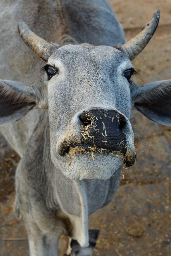 Man Arrested For Having Unnatural Sex With Milkman's Cows, Leaving One Dead  In Gujarat - Indiatimes.com