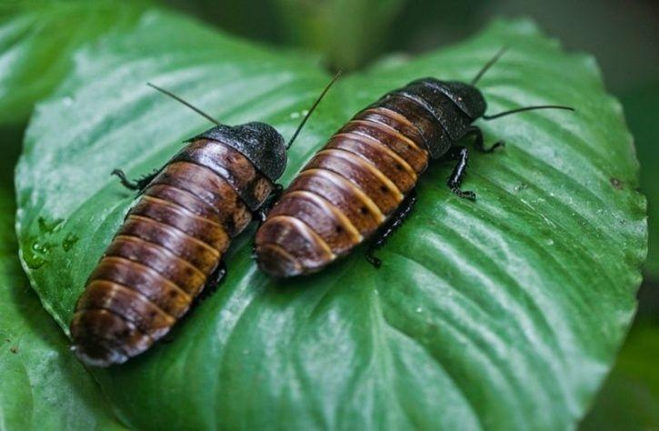 Could Cockroach Milk Be The Next Big Superfood?