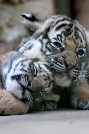2 tiger cubs killed