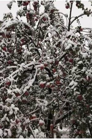 apple orchids Jammu and Kashmir snowfall rescue government losses