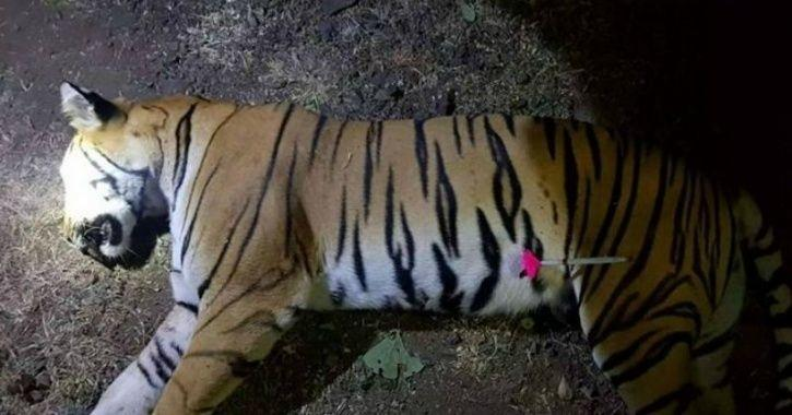 73f173e2d96 Tigress Avni Shot Dead From Close Range. She Leaves Behind Two Cubs ...