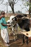 Karnataka digital ear implants cows buffaloes tracking oxytocin drug misuse