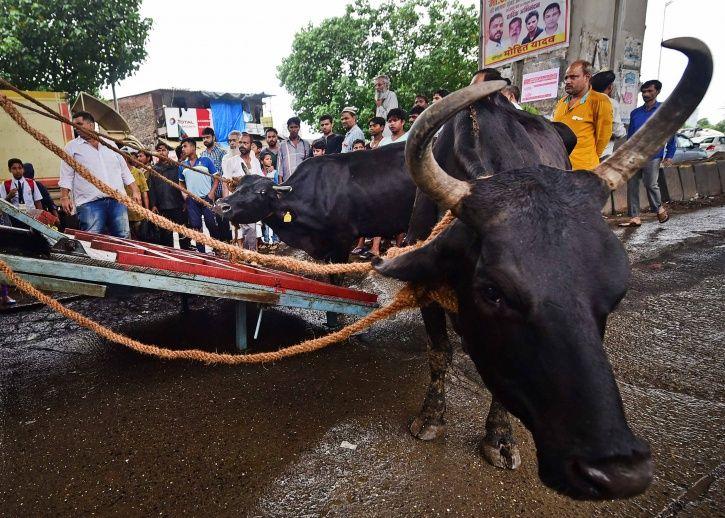 Karnataka, digital ear implants, cows, buffaloes, tracking, oxytocin, drug, misuse