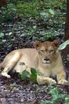 lioness Gujarat Gir forest wild cats humans video