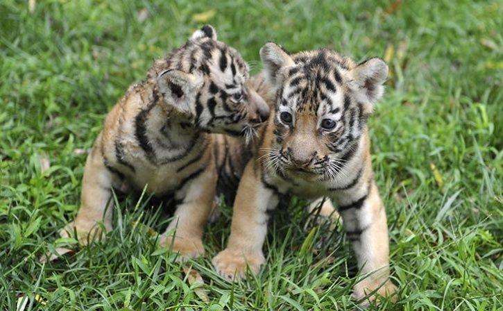 Weeks After Tigress Avni Was Brutally Shot Dead Her Two Orphaned Cubs Spotted