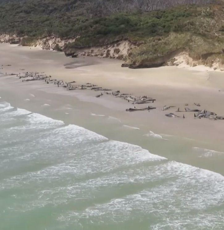 Whales, stranded whales, whales die, New Zealand, Whales stranded on remote island, Whales killed