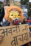 Bombay High Court tigress Avni Yavatmal Pandharkawda forest cubs forest