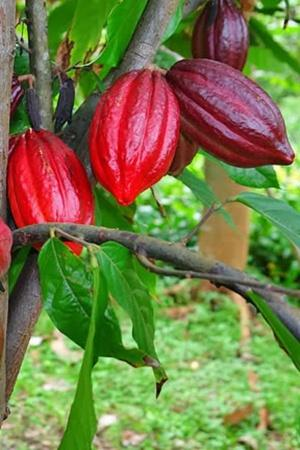 Humans Started Growing Cocao Trees Source Of Chocolate Over 3600 Years Ago Finds Study