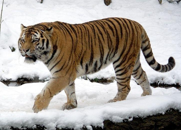 Number Of Tigers Worldwide Is Declining Sharply, Only Six Sub-Species Left