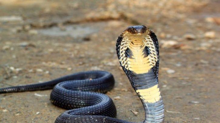 Cobra kiss