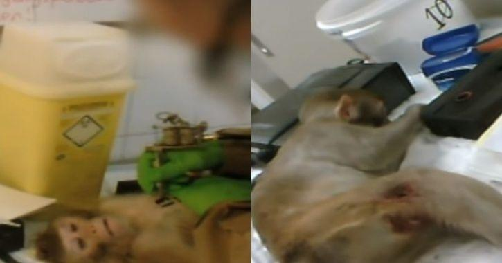 Frightening Footage Shows Monkey Being Tattooed, Sedated & Killed By