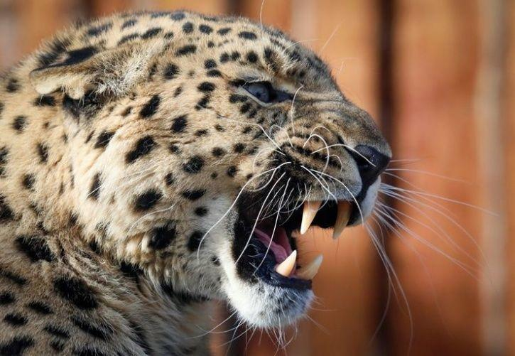 Woman Saves Her 18-Month-Old Son From Leopard's Jaws In Junnar