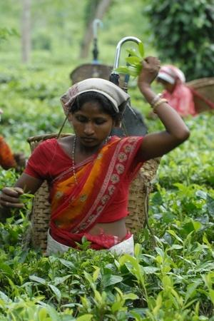 Tea Growers Feel The Pinch Of Anti-Citizenship Law Protests
