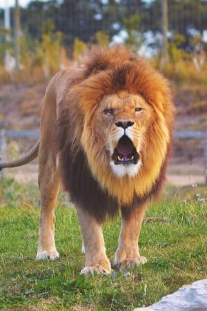 204 Lions Died In Gir In Last Two Years