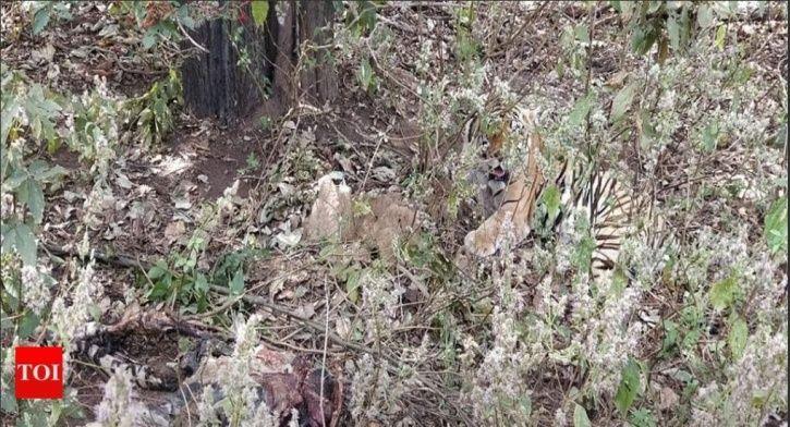 cannibal tiger, Kanha National Park, tigress, killed, Madhya Pradesh, forest officials