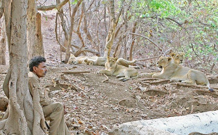 Centre Allocates Rs 59 Crore For Asiatic Lion Conservation