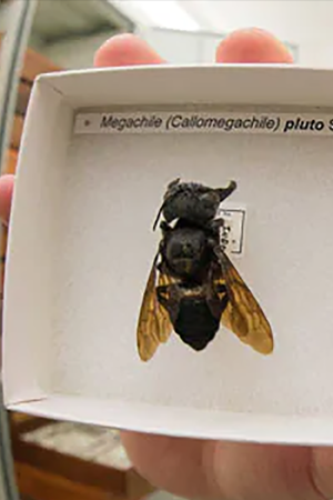 flying bulldog worlds largest bee