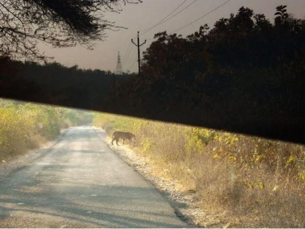 Gujarat tiger, road accident, striped, wild cat, Local resident, Mahesh Mahera, census