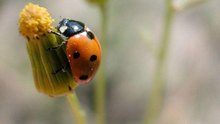 ladybug insect population extinction
