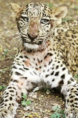 paralysed leopard paralysed leopard rescued paralysed leopard learns to walk pune