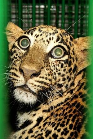 A leopard cub who was dragged around by some unidentified locals in Kolyari village some 150 kms f